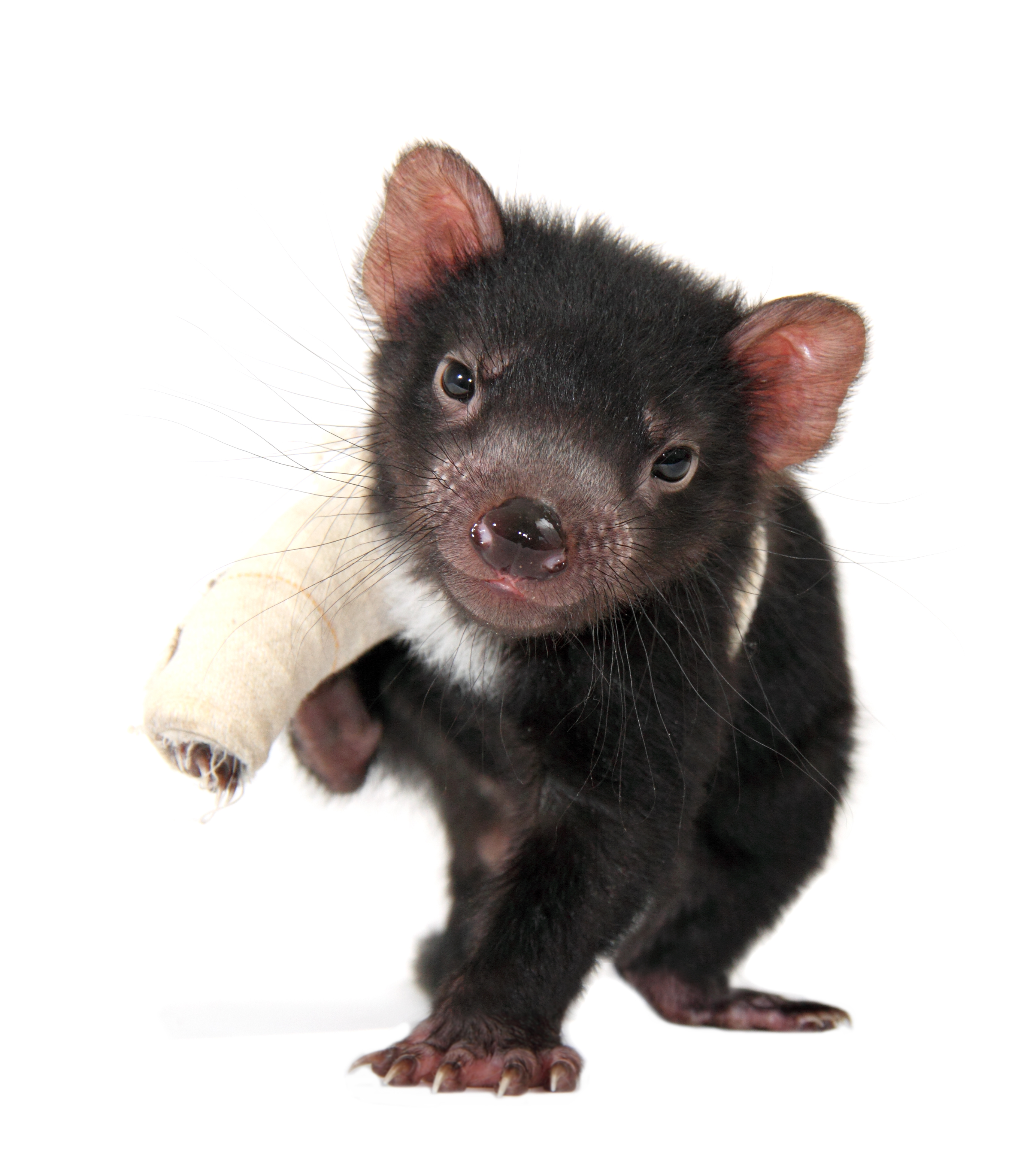 pozible help save the tasmanian devil by aussie ark devil ark