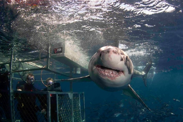 White shark cage-diving