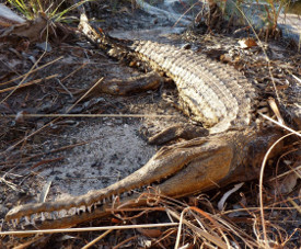 Dead dwarf crocodile poisoned by cane toad