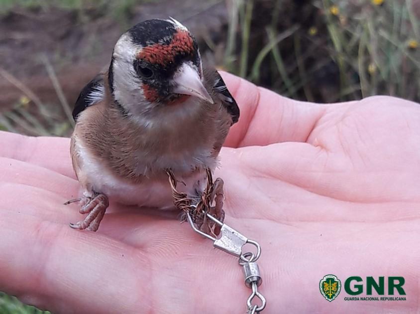 Homem detido em Esposende por captura de aves selvagens