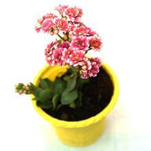 "Kalanchoe 4"" Plant"