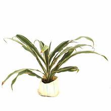 Dracaena Silver Plant