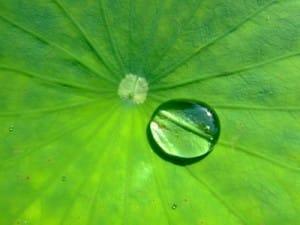 Effet lotus