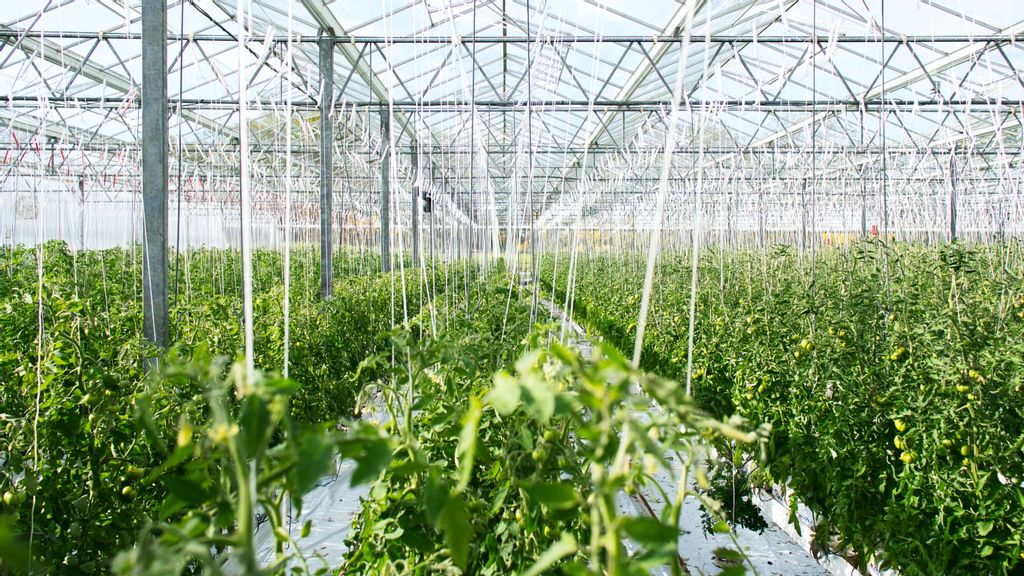 Using Artificial Intelligence For Greenhouses Can Boost Plant Growth, Efforts To Farm Locally