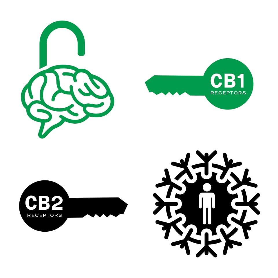 farmacy-partners-endocannabinoid-system-cbd-hemp-cb1-cb2-receptors.jpg