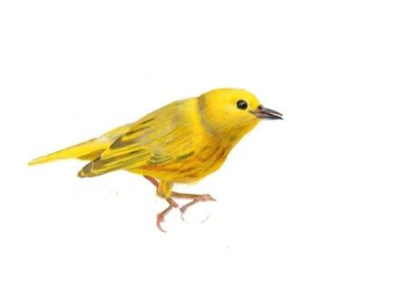 main photo of LINJOA-Yellow Warbler DF