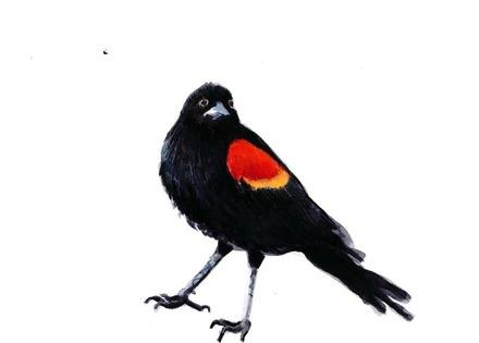 main photo of LINJOA-Redwinged Blackbird DF