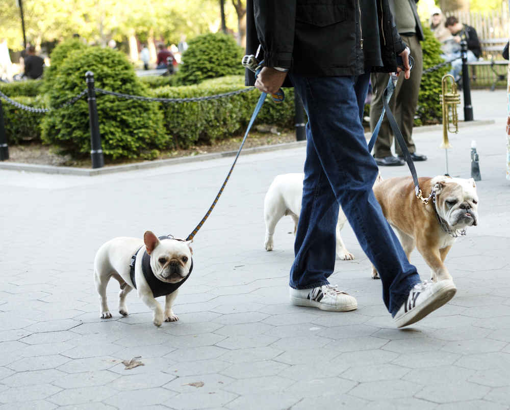 Man walking dogs, Washington Square Park, Greenwich Village, Manhattan