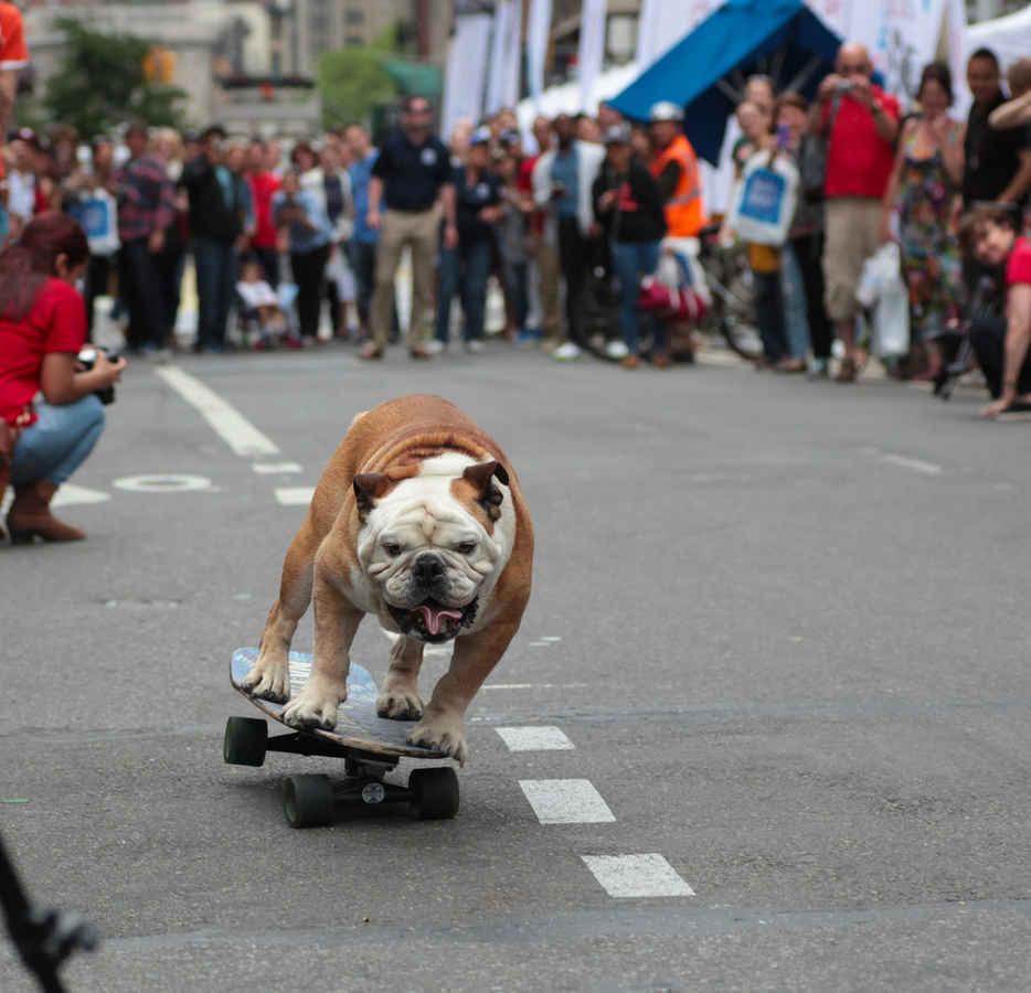 Bulldog skateboarding in Union Square New York