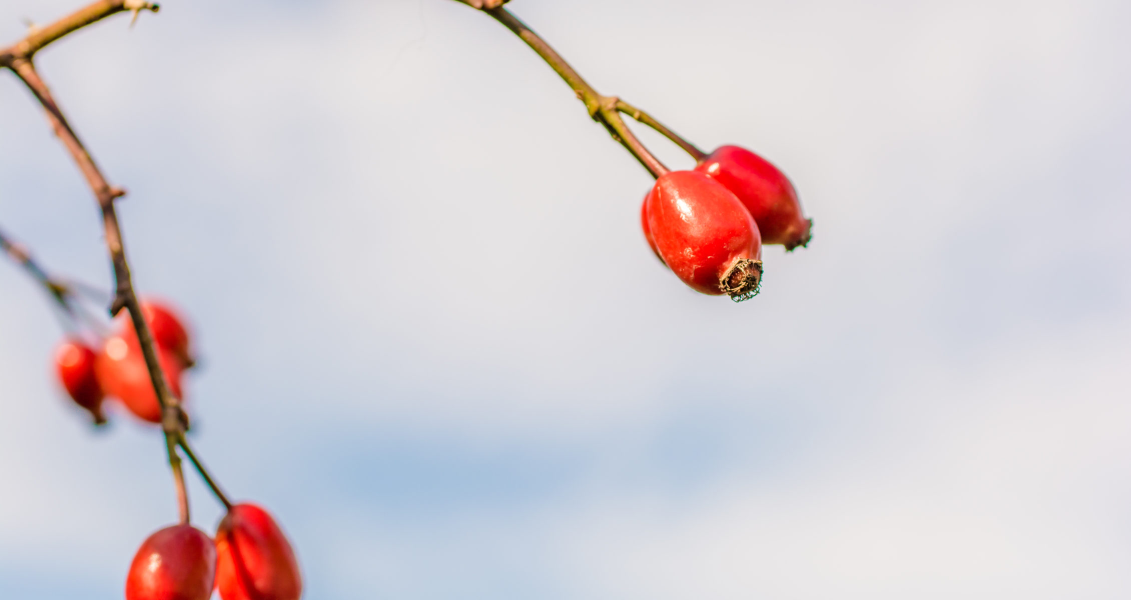 Dog rose fruit with blue sky in background
