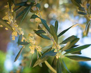 olive bloom