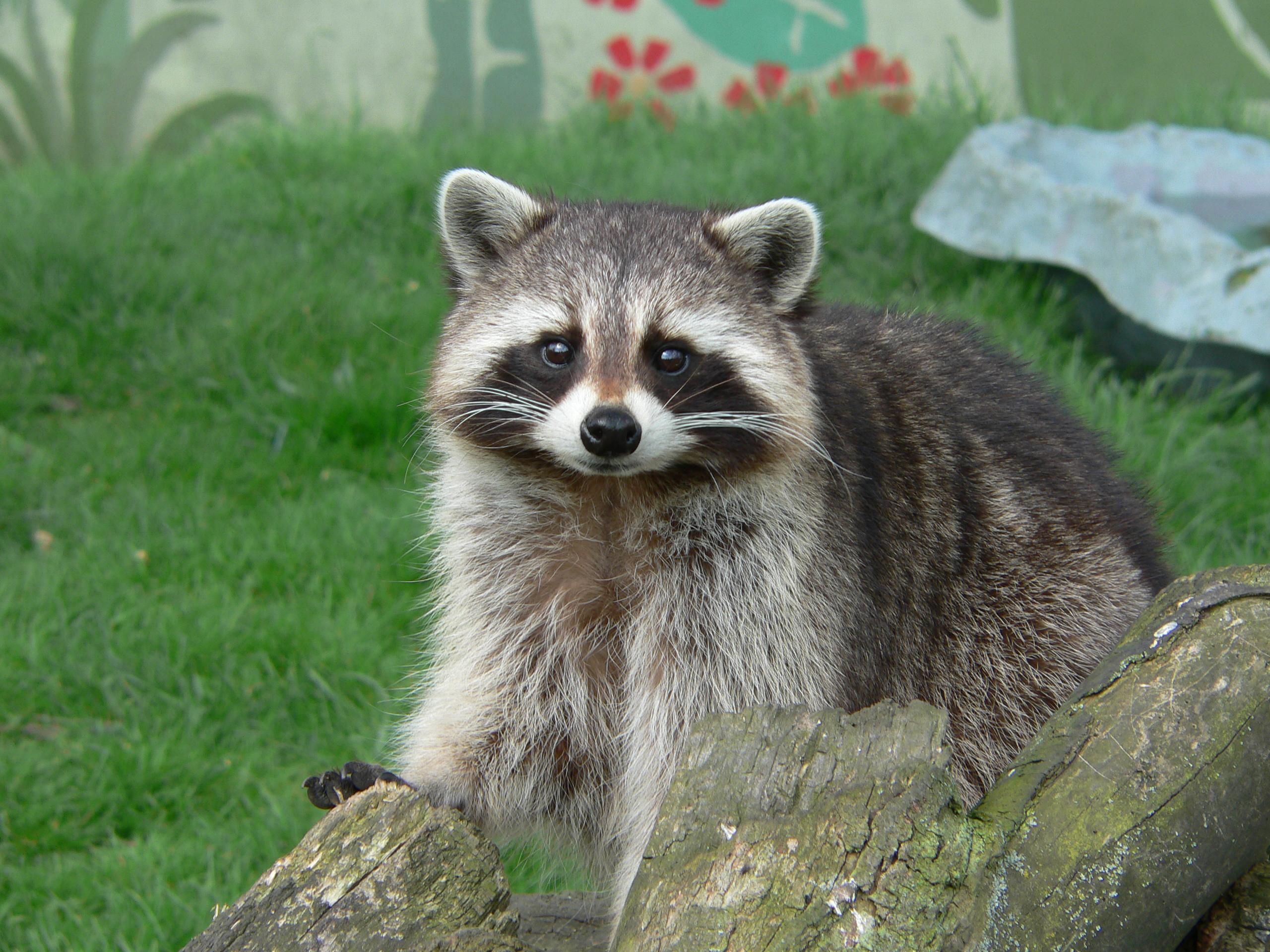 Neil McIntosh Raccoon Cute Pose