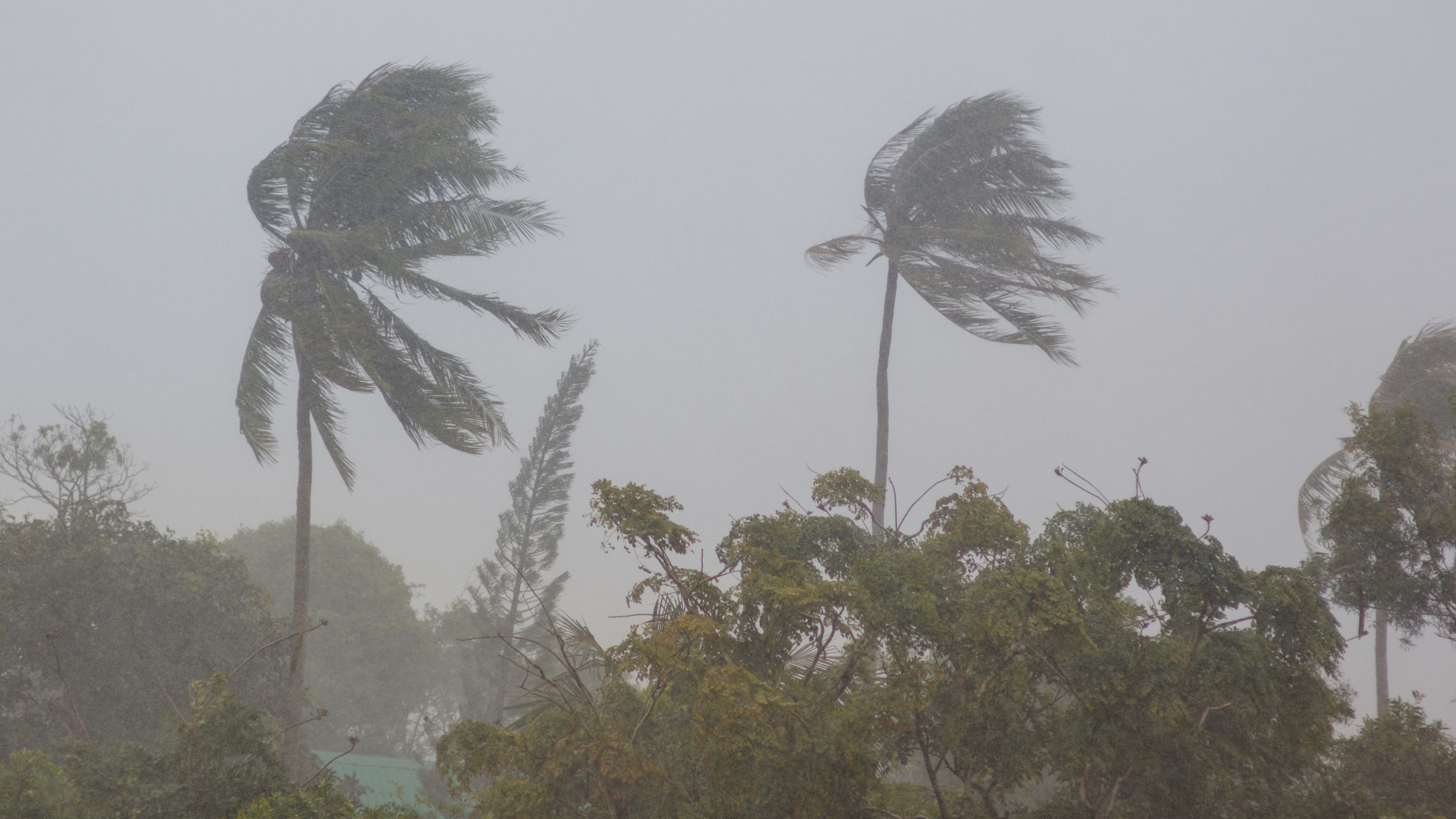 Palm Trees waving in storm