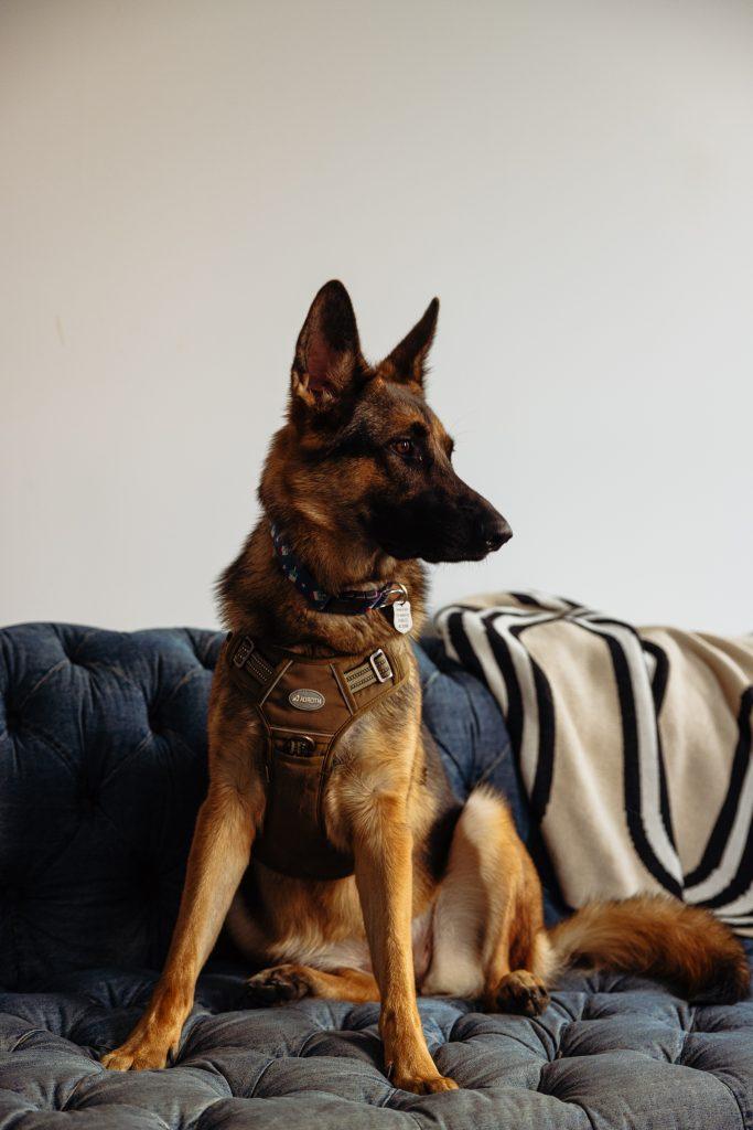 A beautiful German Shepard in a photo studio