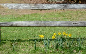 Daffodils by the fence