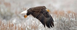 Bald Eagle over field