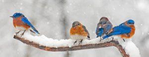 Eastern Bluebirds in winter