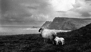 sheep by ocean