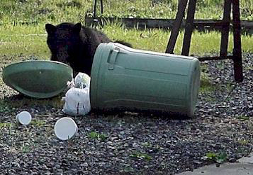 Bear going through the garbage