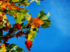 close up of red,green,yellow, orange leaves with clear blue sky as the background