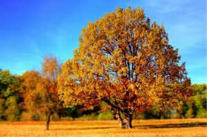 tree changing colors with all orange floor full of leaves