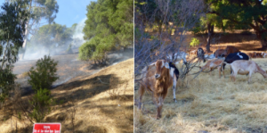 Goat grazing for fire protection