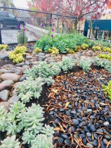 Yound succulent garden after rain fifth & c st