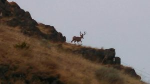 Deer in Sherman County