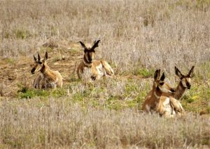 Antelope in Sherman County