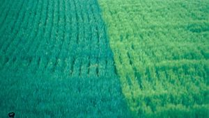 Green Wheat Fields