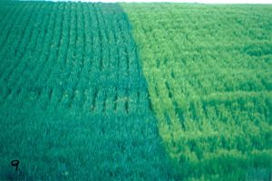 Rows of wheat and barley (right)