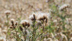 Oregon noxious weeds