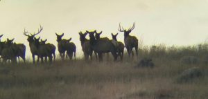 Sherman County Elk