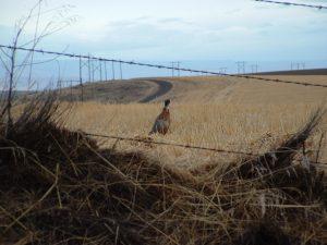 Sherman County Game Birds