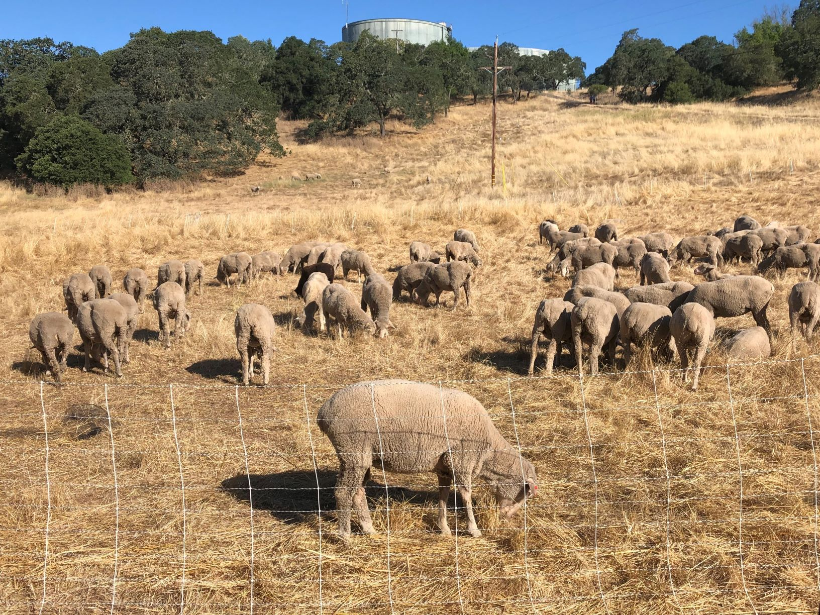 Sheep Grazing at Montini Preserve