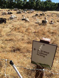 Sheep Grazing at Montini Preserve