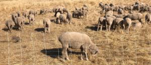 Fuel Management Sheep Grazing