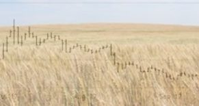 Spring Wheat Market