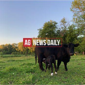 Cow calf beef