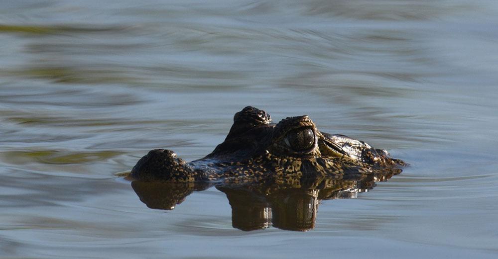 Alligator | Southwild Jaguar Camp
