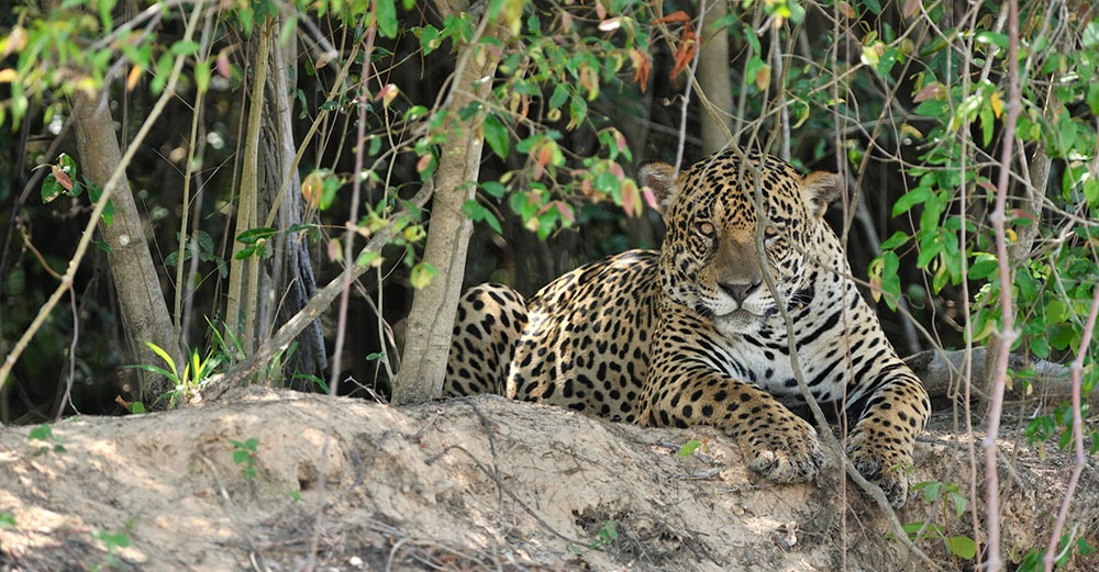 Jaguar | Southwild Jaguar Camp