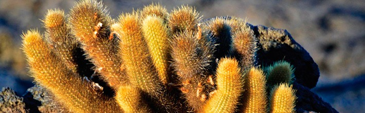 Candelabra Cactus (Jasminocereus Thouarsii)