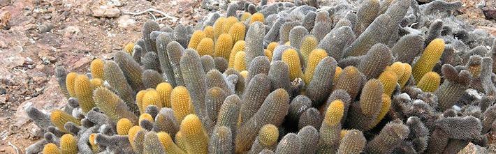 Lavakaktus (Brachycereus Nesioticus)