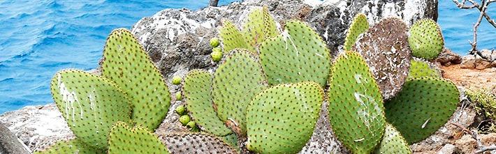 Prickly Pair Kaktus (Opuntia Cactaceae)