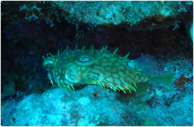 Pacific Burrfish | Galapagos Islands