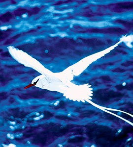 Red-billed tropic-bird | Galapagos Islands