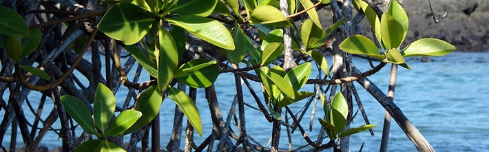 Rote Mangrove