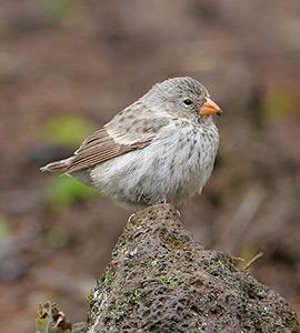 Kleiner Baumfink