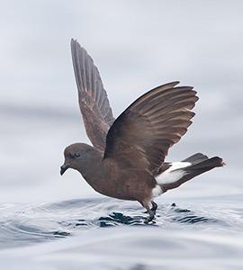 Storm Petrels | Galapagos Islands