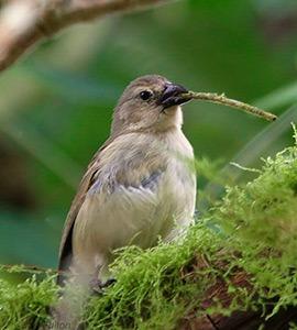 Woodpecker finch | Galapagos Islands